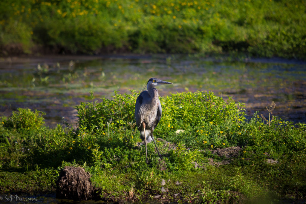 Heron at Delta Ponds
